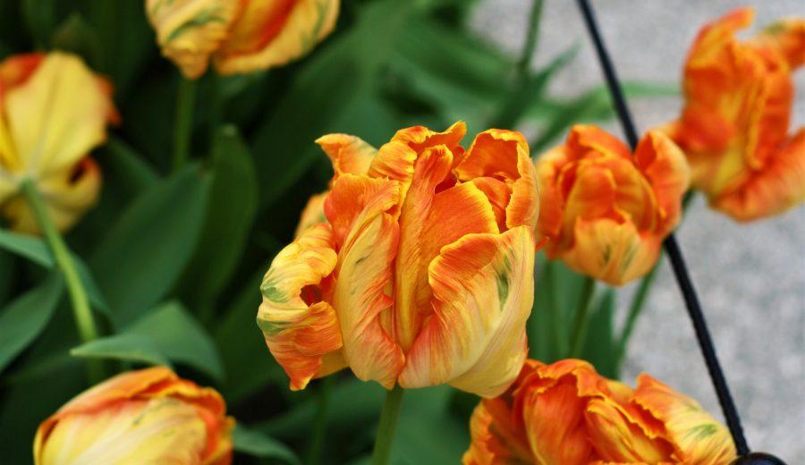 Tiptoe through the Keukenhof Tulips